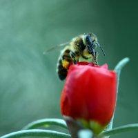 Пчела в портулаке :: Олег Шендерюк