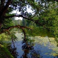 Раскинув ветви над прудом...стоит в святом очарованье :: Vera Ostroumova