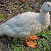 Скромная утка... :: марк