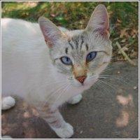 Кот егорьевский голубоглазый... :: Николай Панов