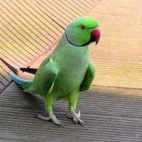 Индийский кольчатый попугай. :: Вадим Синюхин