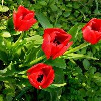 Тюльпаны красные :: Александр Бурилов