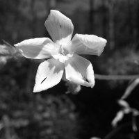 Алтайский цветок :: Алена Суворова