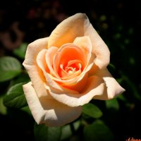 Не знают розы, что сентябрь наступает.. :: Андрей Заломленков