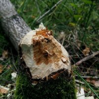 бобры точат деревья. :: elena manas