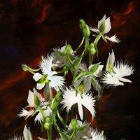 Орхидея Белая Цапля :: Aleks Ben Israel