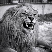 Царь зверей. :: Lidija Abeltinja