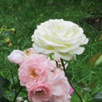 Два цвета - розовый и белый :: Дмитрий Никитин