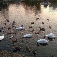 Лебеди в Московском зоопарке :: Наталья Владимировна