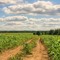 Через кукурузное поле.. :: марк