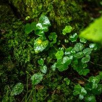 Немного леса после дождя :: Марина Счастливая