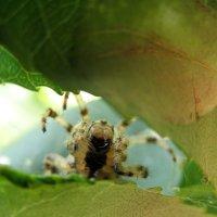Паук выглядывает между листьев :: Андрей Лавров