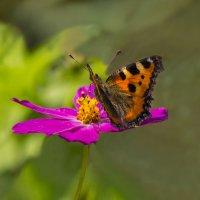 Бабочка и космея :: Дубовцев Евгений