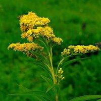 Цветы полевые :: Михаил Рогожин