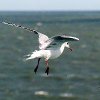 Bow-legged seagull :: Sergey Sergaj