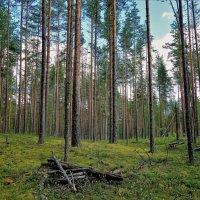 В Новгородском лесу... :: Sergey Gordoff