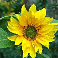 Солнечное растение :: Leonid Rutov