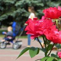 Там, где цветут розы :: Татьяна Смоляниченко