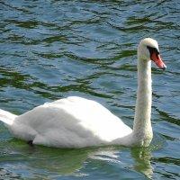 Глядя на этого красавца, понимаешь, почему лебеди облюбовали базу флота :: Маргарита Батырева