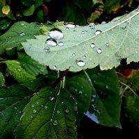 Капли дождя :: Елена Семигина