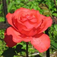 Красная роза - эмблема любви :: Дмитрий Никитин