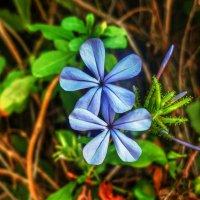 Голубые цветочки . :: Ron Леви
