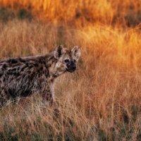 На закате дня...саванна.Танзания! :: Александр Вивчарик