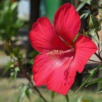 Аленький цветочек :: Татьяна Смоляниченко