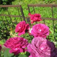 Необычный цвет роз :: Дмитрий Никитин