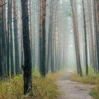 Туман в лесу :: Юрий Стародубцев