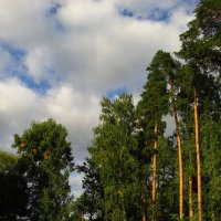 Немногочисленные сосны моего парка :: Андрей Лукьянов