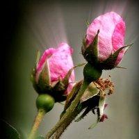 Розы :: Роман Савоцкий