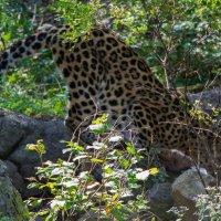 Реликт приморской тайги - леопард. Надо напиться. :: Евгений Поварёнков