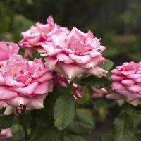 Розы,розы,розы :: Татьяна Шеркунова
