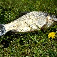 Рыбка...и...Одуванчик... :: Дмитрий Петренко