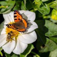Бабочка и шмель :: Александр Синдерёв