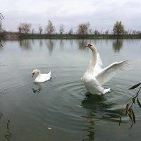Лебеди в Шато Эркен :: Елена