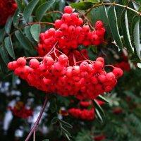 Ах, эти ягоды рябины... :: Galina Dzubina