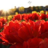 Солнце в цветах :: Надежда Ляшова