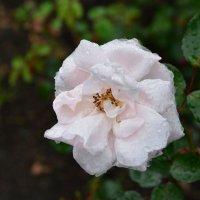 Роза в дождливый день. :: Наталья