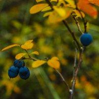 Осенняя голубика :: Александр Артюхов