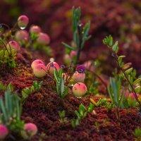 Ещё зелёные ягоды клюквы :: Фёдор. Лашков