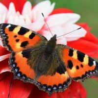 Бабочке красавице георгин понравился! :: Татьяна Помогалова