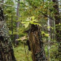 В Дальневосточном лесу! :: Ирина Антоновна