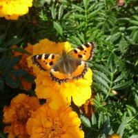 Бабочка крапивница :: Наиля