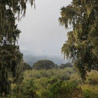 Сказочный лес в Национальном парке Абердаре, Кения :: Ольга Петруша