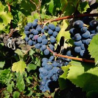 Началась уборка винограда :: Владимир