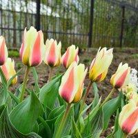 Просто тюльпаны :: Светлана Ларионова