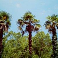 Три подружки пальмочки :: Лиза Ворончихина