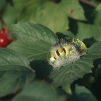 Скоро бабочка :: Ирина Демидова